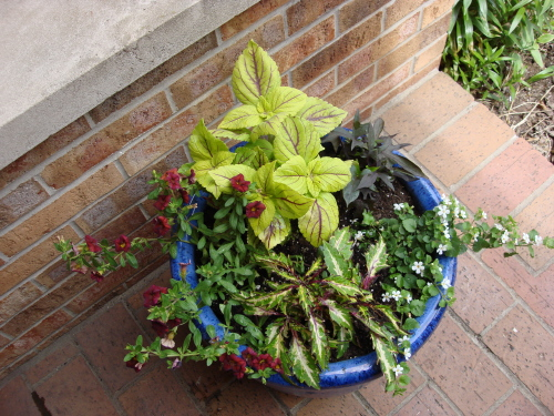 Blog%20Gay%20Delight%20coleus%20in%20blue%20pot.JPG