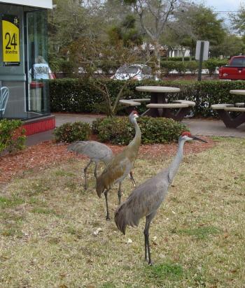 Sand Hill Cranes for Blog 2.JPG