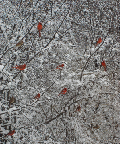 Snow Cardinals 2 Resized