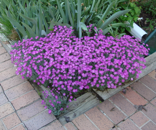 Sweet William Resized
